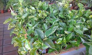 planta-interior-pothos