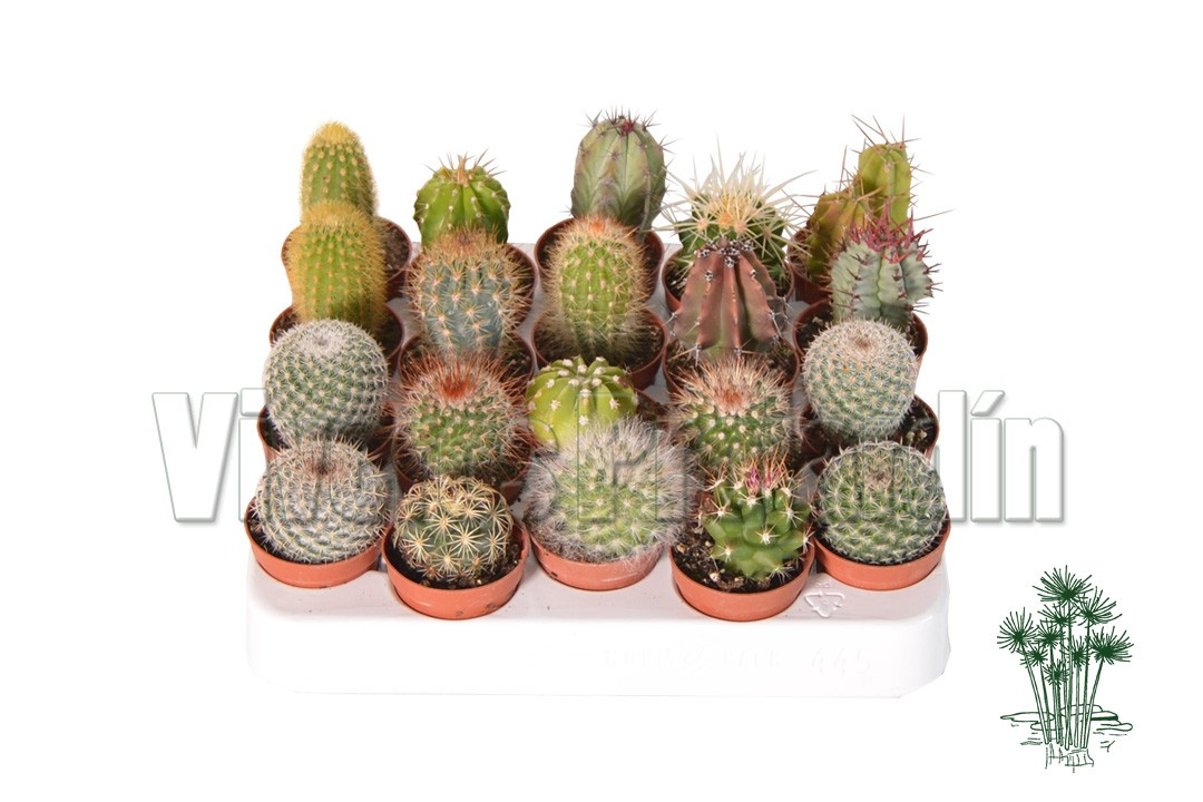 Cactus maceta 5 5 cm for Viveros madrid sur