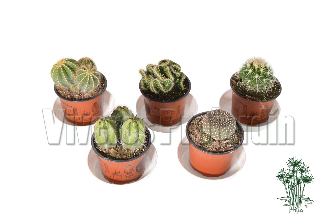 Cactus maceta 13 cm for Viveros madrid sur