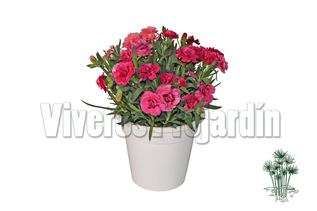 Clavel oscar for Vivero alcorcon
