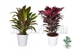 Cordyline Red Blanco_1