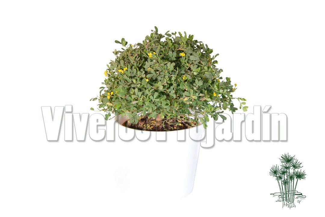 Coronilla for Viveros madrid sur