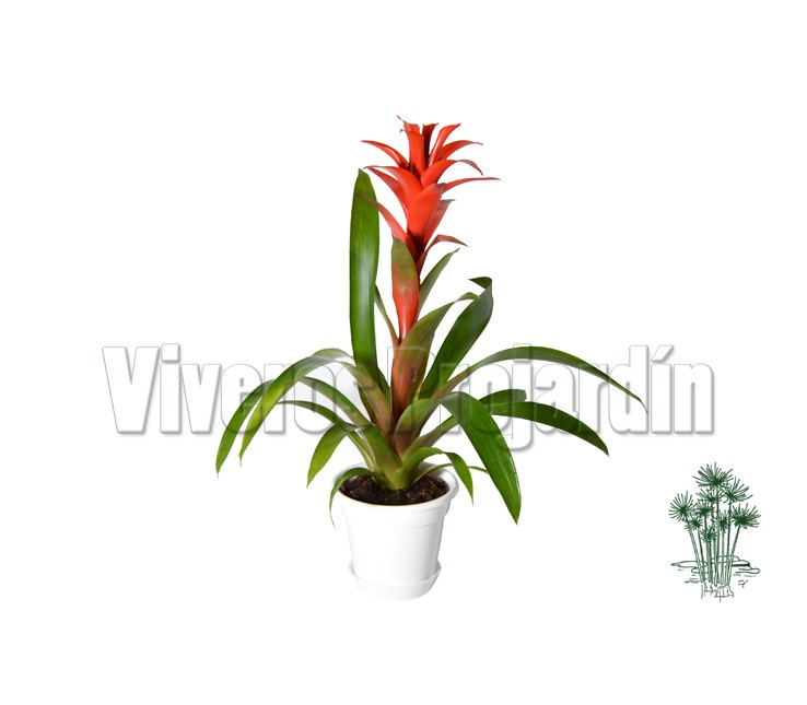 Guzmania for Viveros madrid sur