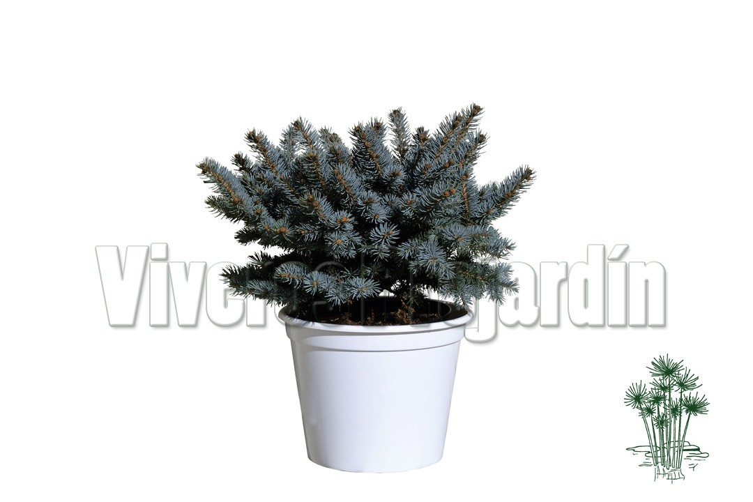 Picea pungens for Viveros madrid sur